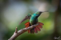 Colibrì (Trochilidae)