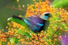 Siete-colores (Stilpnia larvata)